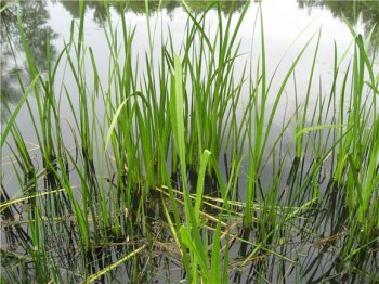 Плетение из стеблей и листьев болотных растений