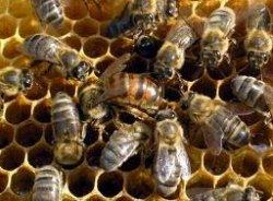 Пчела не медведь, зимой лапу сосать не будет