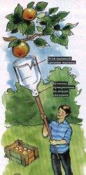 Снимаем плоды с высоких деревьев