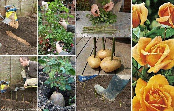 Как садить розы в домашних условиях - Sergts.Ru