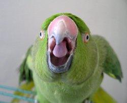 волнистый попугай своими руками