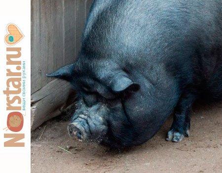 Вьетнамские вислобрюхие свиньи: особенности содержания