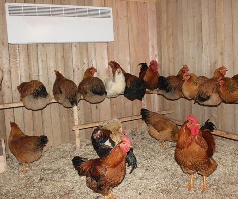 Как ухаживать за курицами несушками в домашних условиях