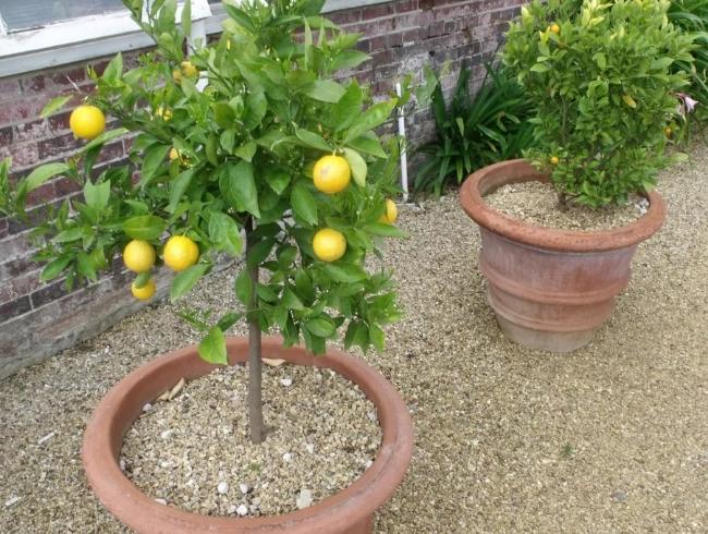 Как сажать лимоны в домашних условиях 128