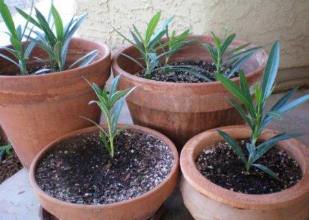 Выращивание олеандра