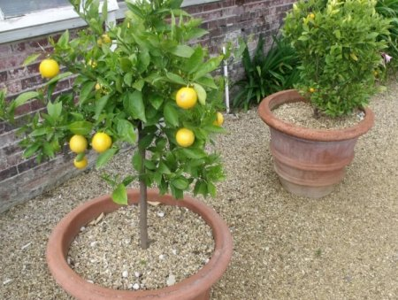 Как посадить и вырастить лимон в домашних условиях