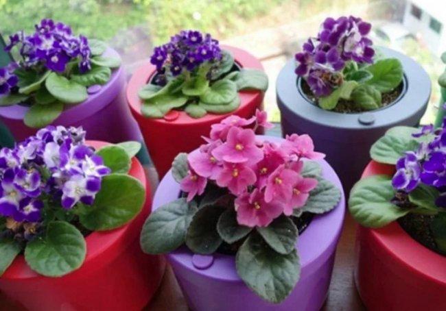 Как ухаживать за фиалкой и вырастить прекрасное цветущее растение
